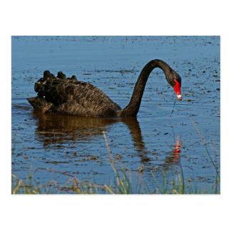 Black Swan Postcard