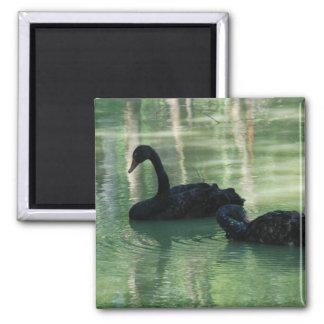 black swans magnet
