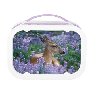 Black-tailed deer, doe resting in siky lupine, lunch boxes