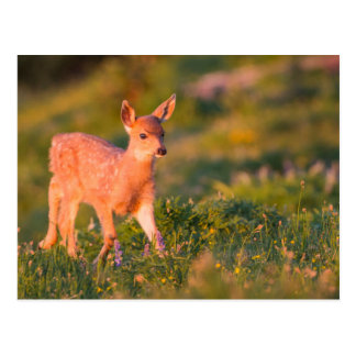 Black-tailed Deer fawn Postcard