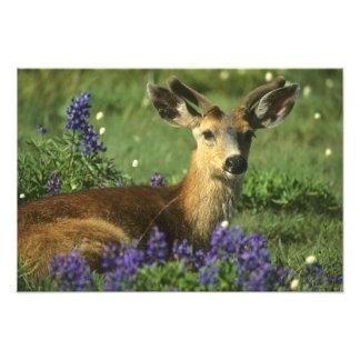 Black-tailed Deer, Odocoileus hemionus), in Photo