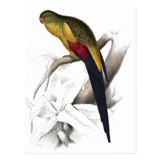 Black-Tailed Parrakeet by Edward Lear Postcard