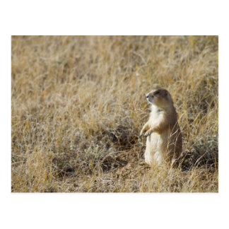 Black-tailed Prairie Dog Postcard