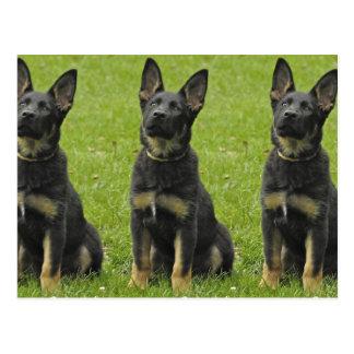 Black & Tan GSD Pup Postcard