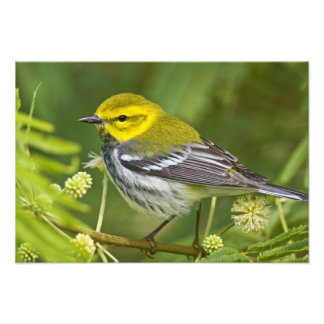 Black-throated Green Warbler Dendroica Photo Art
