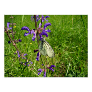 Black Veined White Butterfly Poster