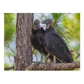 Black Vulture Postcard