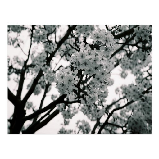 Black & White Blooms Post Cards