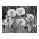 Black & White Dandelions Post Cards