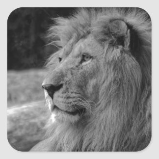 Black & White Lion - Wild Animal Square Sticker