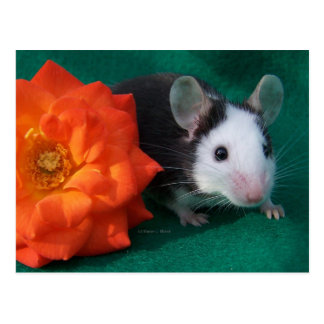 Black White Mouse and Orange tea rose Postcard