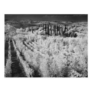Black & White of vineyards, Montepulciano, Italy Postcard