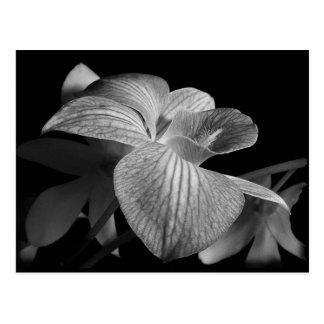 Black & White Orchid Postcard