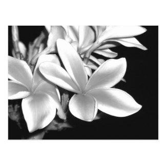 Black & White Plumeria Postcard