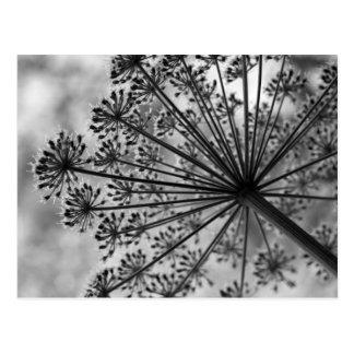 Black & White Queen Anne's Lace Postcard