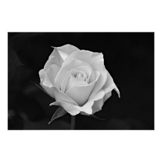 Black & White Rose poster
