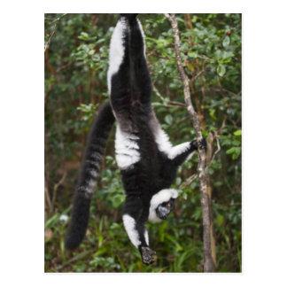 Black & white ruffed lemur hanging up-side-down postcard