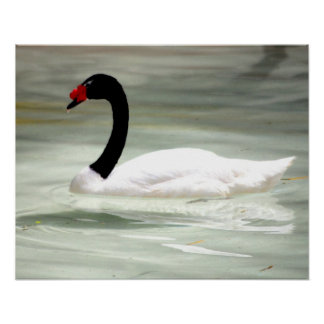 Black & White Swan, the Love Bird Poster