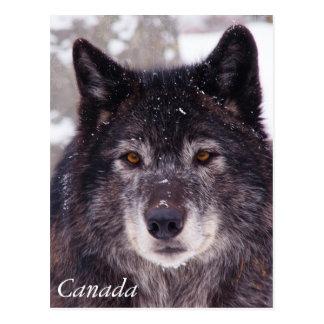 Black wolf postcard - Canada