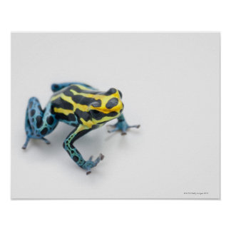 Black, Yellow and Blue Poison Dart Frog Poster