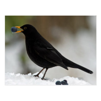 Blackbird eating grapes in snow postcard