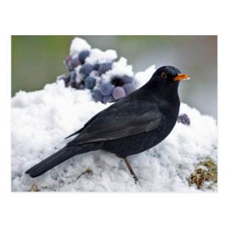 Blackbird in snow postcard