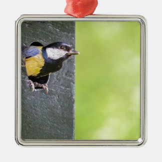 Blackbird parent in hole of nest box Silver-Colored square ornament
