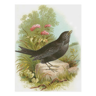 Blackbird Postcard
