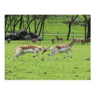 Blackbuck Antelope Postcard