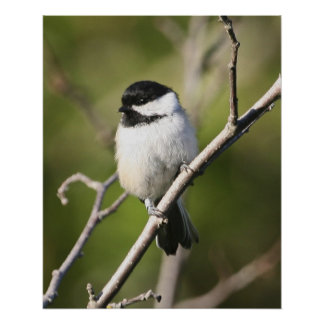 Blackcapped Chickadee Poster