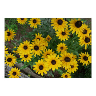 Blacked Eyed Susan Poster/Print  Bordered Poster