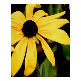 blackeyed susan poster