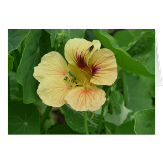 Blank card with single Nasturtium