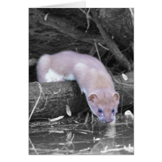 Blank Card With Stoat - Any Occasion Card