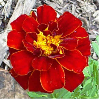 Blazing Marigold Pin Photo Sculpture Button