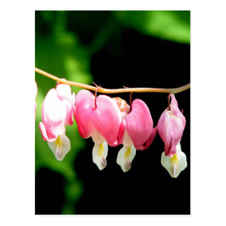 Bleeding Hearts Postcard