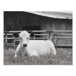 Blk & wht photo of sweet white calf face & barn. poster