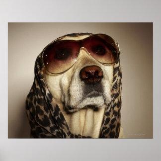 Blond Labrador Retriever wearing sun glasses Poster