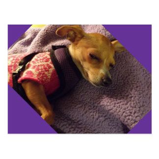 blonde Chihuahua card Postcard