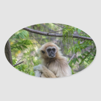 Blonde Gibbon Monkey - Hylobates lar Oval Sticker