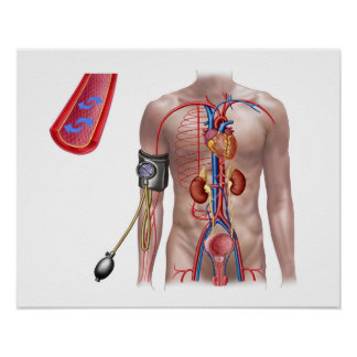 Blood Pressure And Circulatory System Poster