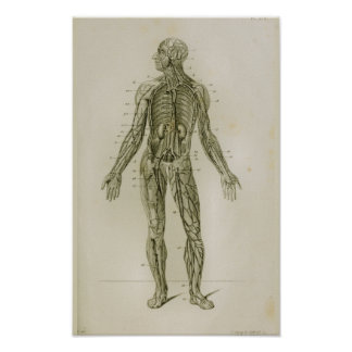 Blood Vessels Veins Vintage Anatomy Print