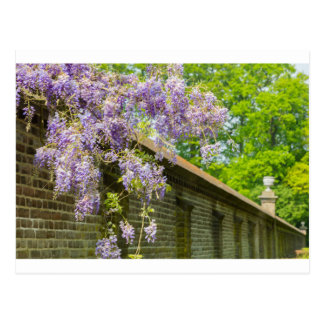 Blooming blue wisteria hanging over long brick wal postcard