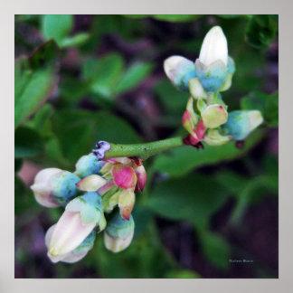 Blooming Blueberries Poster