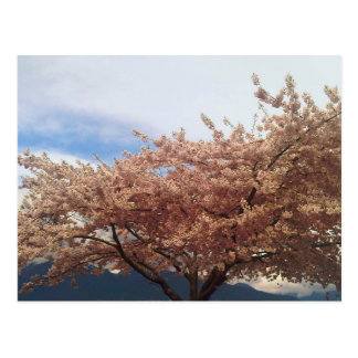Blooming Cherry Tree Postcard