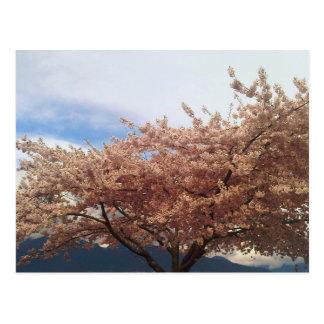 Blooming Cherry Tree Postcard