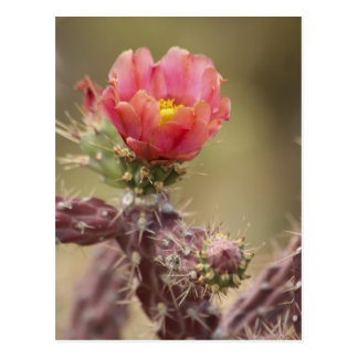 Blooming Cholla Cactus Postcard