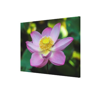 Blooming lotus flower, Indonesia Canvas Print
