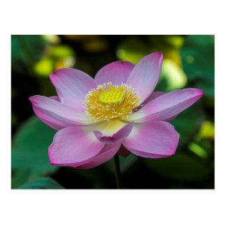 Blooming lotus flower, Indonesia Postcard