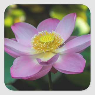 Blooming lotus flower, Indonesia Square Sticker